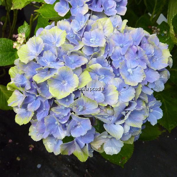 Hydrangea macrophylla \'Topaz\' C4L 20/40