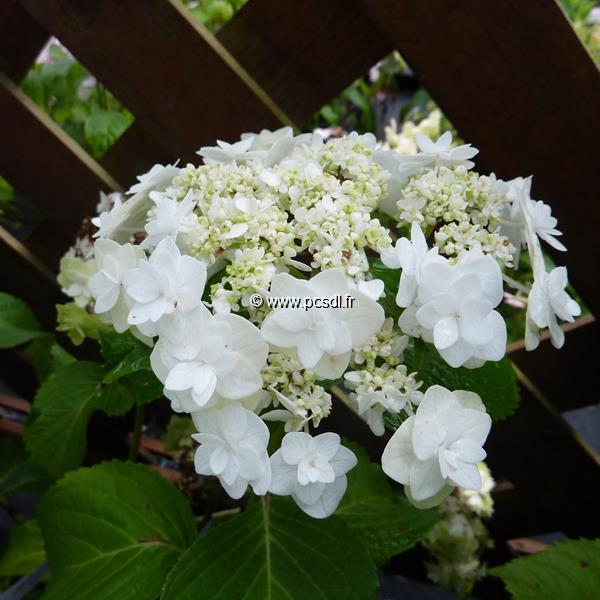 Hydrangea macrophylla \'Wedding Gown\' ® 20/40 C4L