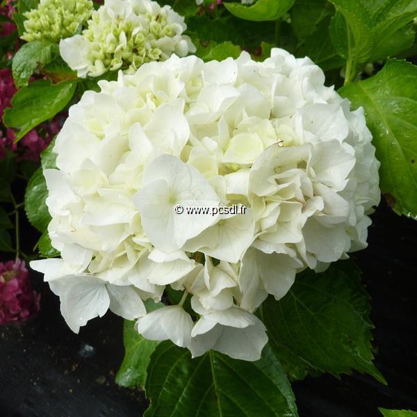 Hydrangea macrophylla (ville de Chine) \'Wudu\' ® C4L 20/40