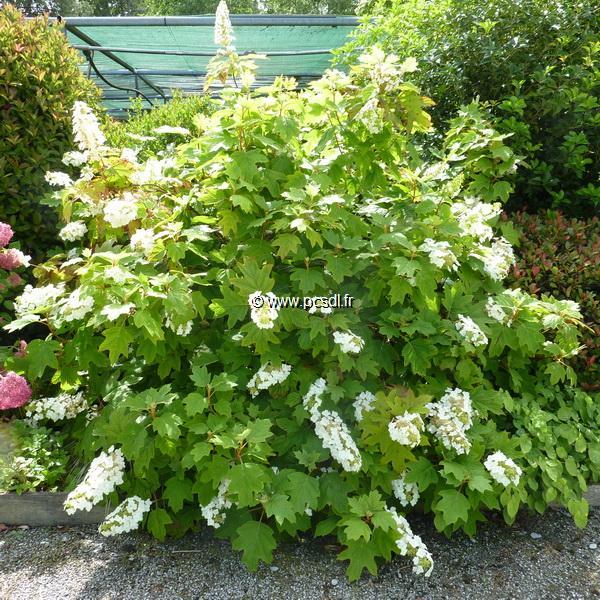 Hydrangea quercifolia \'Alice\' C4L 40/60
