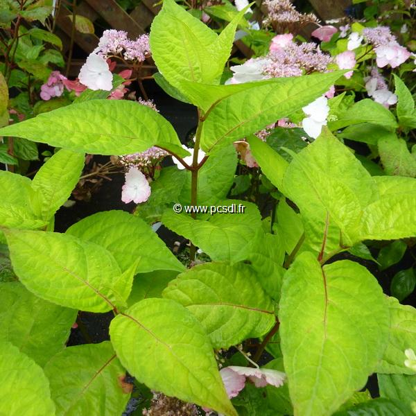 Hydrangea serrata \'Golden Showers\' C4L 20/40