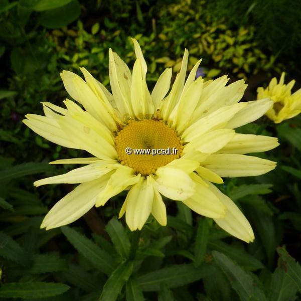 Leucanthemum x superbum \'Broadway Lights\' ® C3L