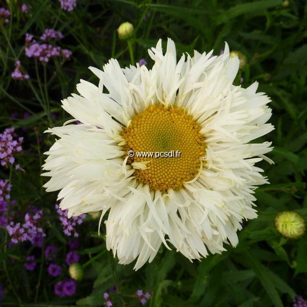 Leucanthemum x superbum \'Crazy Daisy\' C3L