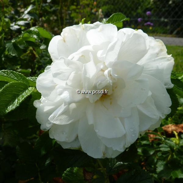 Rosa rugosa \'Blanc Double de Coubert\' 40/60 C4L
