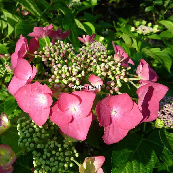 Hydrangea macrophylla \'Möwe\' C4L 20/40