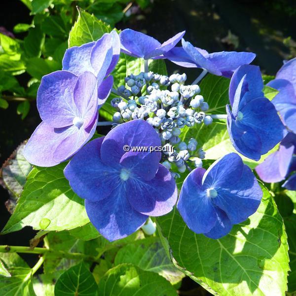 Hydrangea macrophylla \'Nachtigall\' C4L 20/40