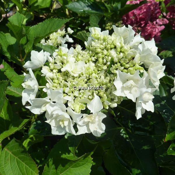 Hydrangea macrophylla \'Coco\' ® C4L 20/40