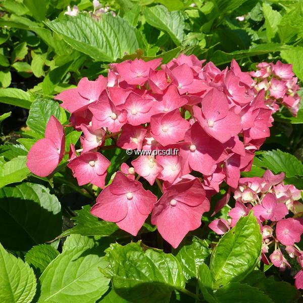 Hydrangea macrophylla \'Freudenstein\' 20/40 C4L