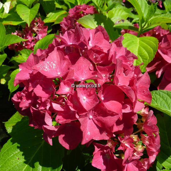 Hydrangea macrophylla \'Merkur\' C4L 20/40