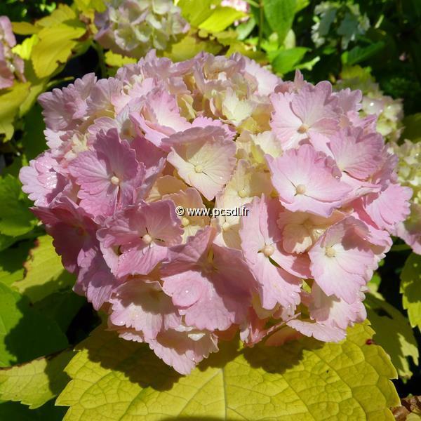 Hydrangea macrophylla \'Ogonba\' C4L 20/40