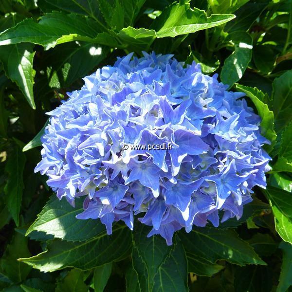 Hydrangea macrophylla \'Tovelit\' C4L 20/40