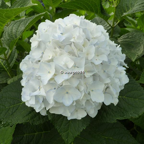 Hydrangea macrophylla \'The Bride\' ® C4L 20/40