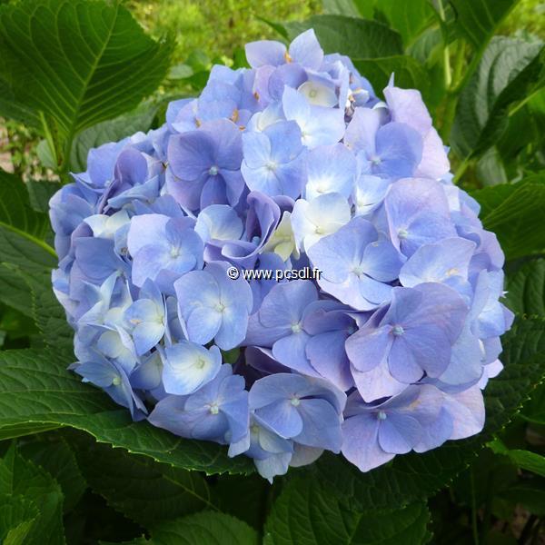 Hydrangea macrophylla \'Goliath\' C4L 20/40