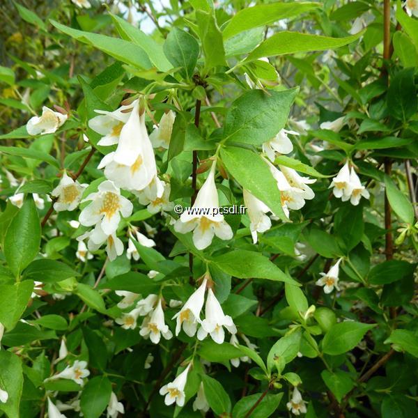 Abelia spathulata C4L 60/80