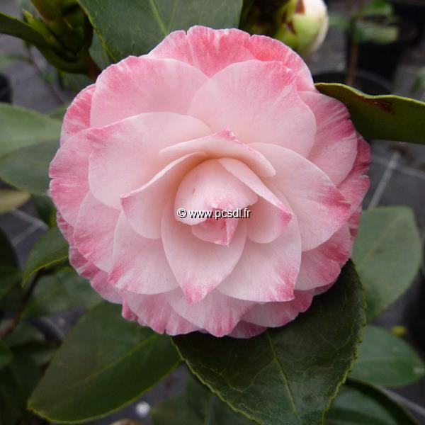 Camellia japonica \'Grace Albritton\' C10L 80/100