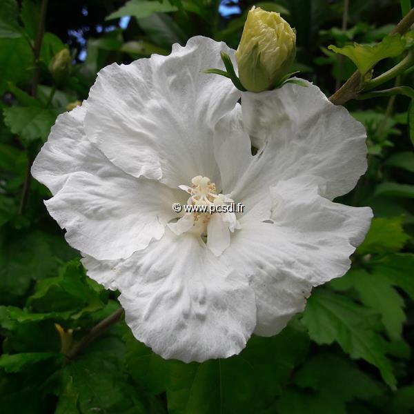 Hibiscus syriacus \'Diana\' C4L 40/60