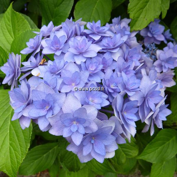 Hydrangea macrophylla (you&me) \'Expression\' ® C4L 20/40