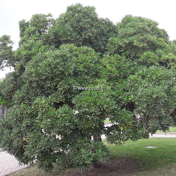 Pittosporum tobira C12L 60/80