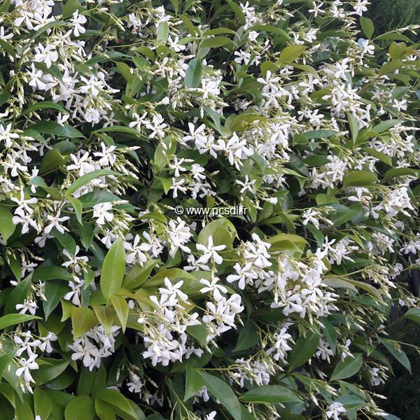 Trachelospermum jasminoides C4L 125/150