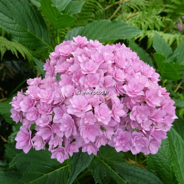 Hydrangea macrophylla (you&me) \'Together\' ® C4L 20/40