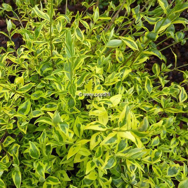 Abelia x grandiflora \'White Gold\' C4L 30/40
