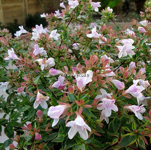 Abelia x grandiflora \'Sunshine Daydream\' ® C4L 30/40