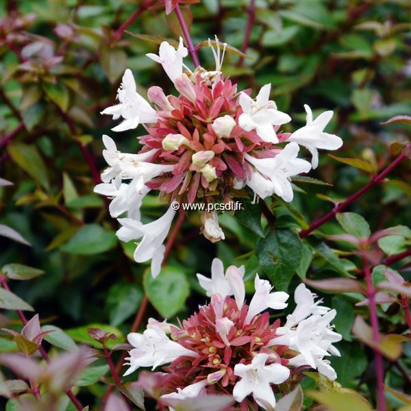Abelia x grandiflora C4L 40/50
