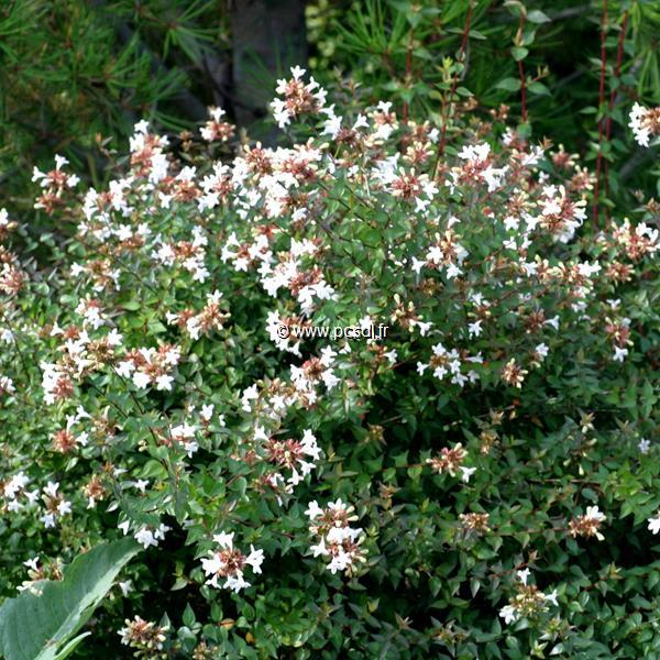 Abelia x grandiflora C10L 80/100