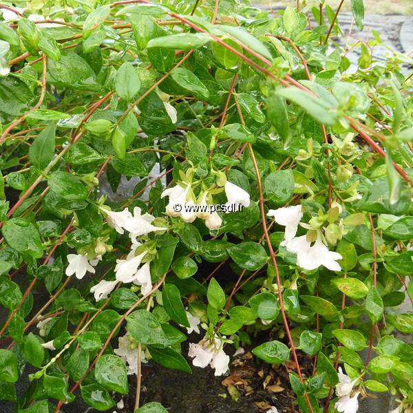 Abelia \'Petite Garden\' ® 30/40 C4L