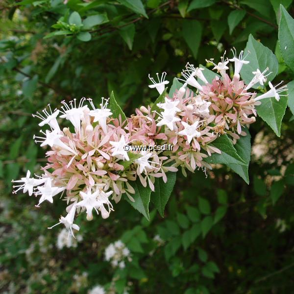 Abelia chinensis C4L 40/60