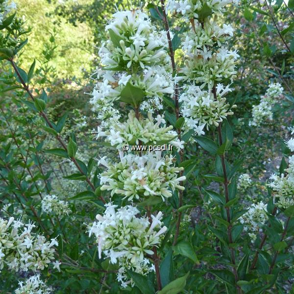 Abelia chinensis \'White Surprise\' 40/50 C4L