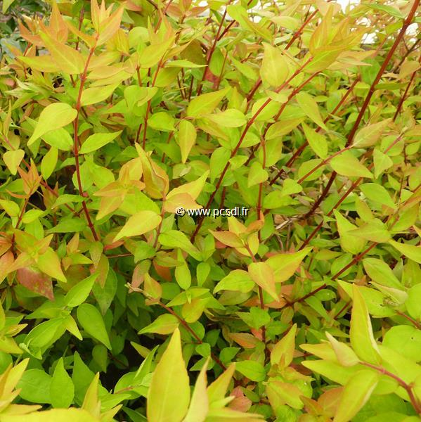 Abelia x grandiflora \'Boule de Feu\' 30/40 C4L