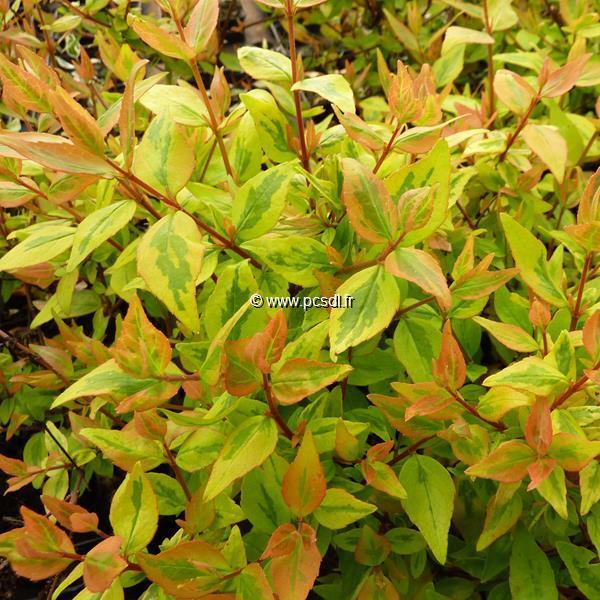 Abelia X Grandiflora Kaleidoscope C4l 3040 Tous Les Arbustes