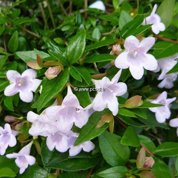 Abelia x grandiflora \'Pinky Bells\' ® C4L 30/40