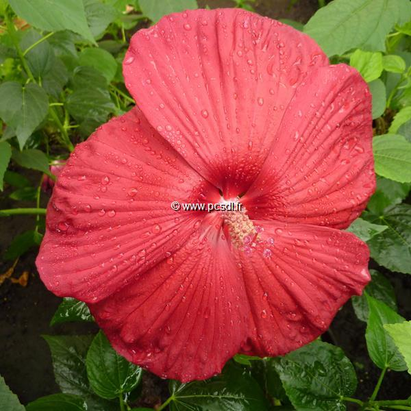 Hibiscus moscheutos \'Southern Belle\' (rouge) C3L