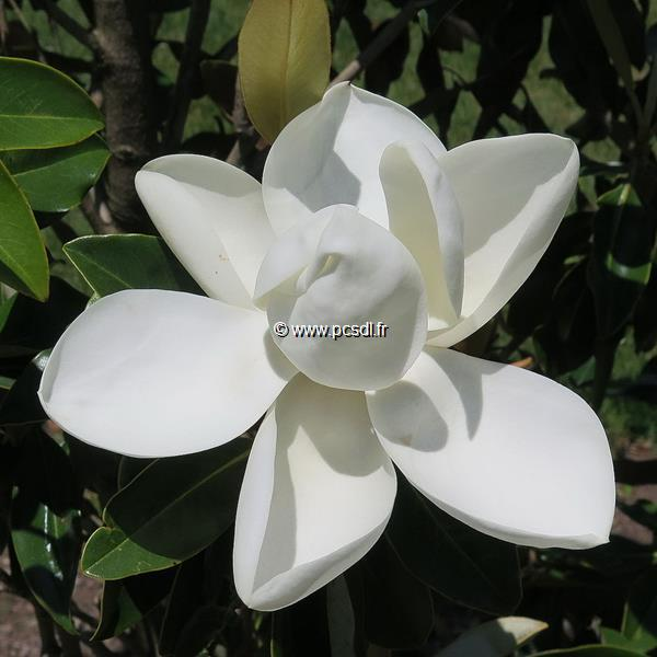 Magnolia grandiflora \'Little Gem\'