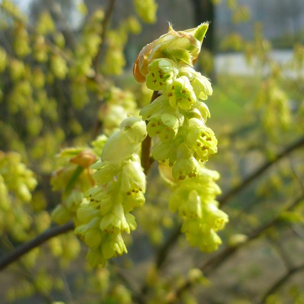 Corylopsis pauciflora C4L 100/125