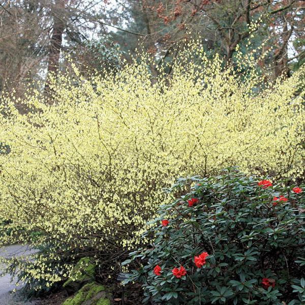 Corylopsis pauciflora C4L 40/60