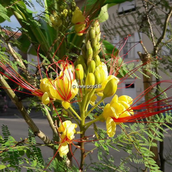 Caesalpinia gilliesii 40/60 C3L