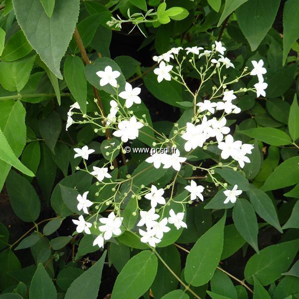 Deutzia setchuensis var. corymbiflora C4L 40/60