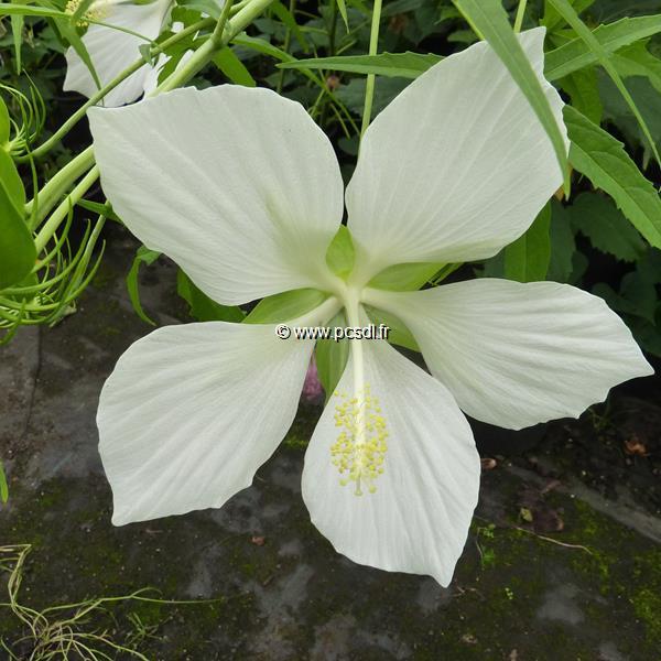 Hibiscus coccineus \'Lone Star\' C3L