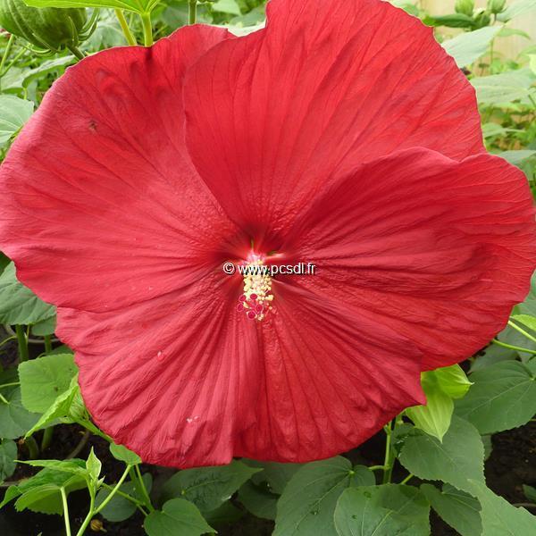 Hibiscus moscheutos \'Southern Belle\' (rouge foncé) C3L