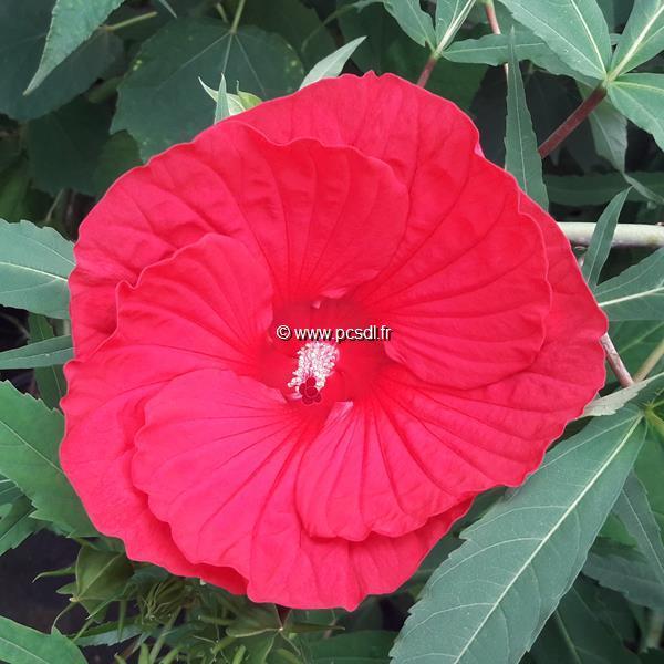 Hibiscus x moscheutos \'Fireball\' C3L
