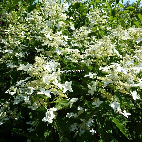 Hydrangea paniculata \'Starlight\' C4L 30/40