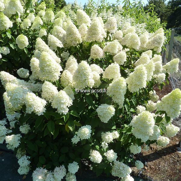 Hydrangea paniculata \'Candle\' 30/40 C4L