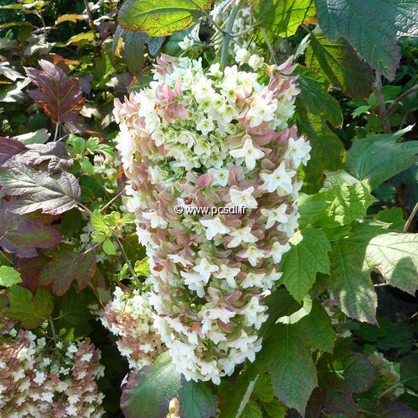 Hydrangea quercifolia \'Snowflake\'