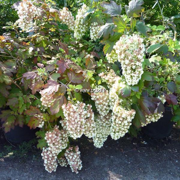Hydrangea quercifolia \'Snowflake\' C50L 80/100