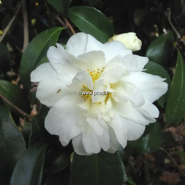 Camellia x oleifera \'Polar Ice\' C3L 10/20