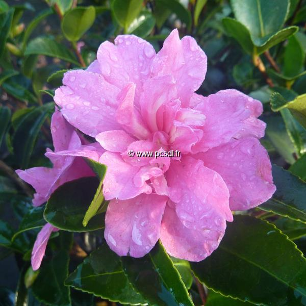 Camellia sasanqua \'Elfin Rose\' 20/30 C3L