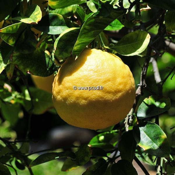 Citrus x limon \'Garey\'s Eureka\' (4 saisons) C4L 40/60